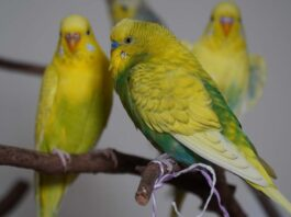 Muhabbet Kuşu Tüy Dökümü